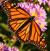 Monarch 50px