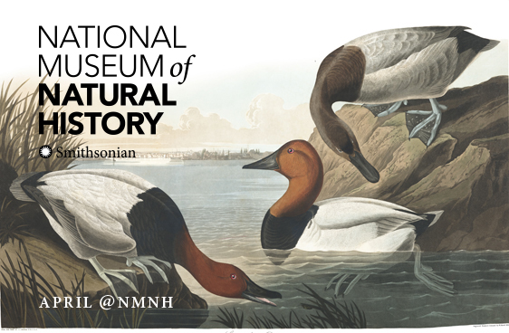 April at NMNH - Audubon Plate - Canvas Back Duck