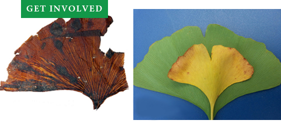 Get Involved - Fossil and Modern Ginkgo Leaves