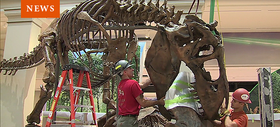 News - T. rex installation in Fossil Hall