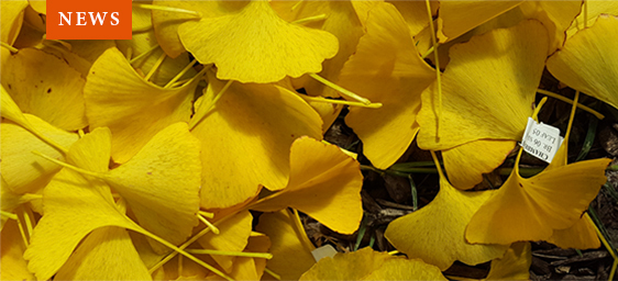 News - Yellow Ginkgo Leaves