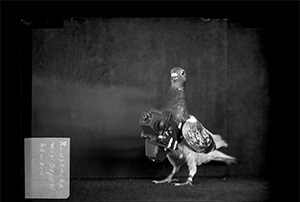 black and white photo of a pigeon with a camera around it's neck