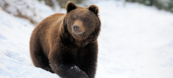 Great Yellowstone Thaw - Grizzly Bear